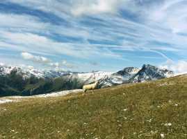 041_Sheep_Bergwelt_Osttirol_Großglocknergruppe