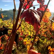 161_Douro_Valley_Weinreben