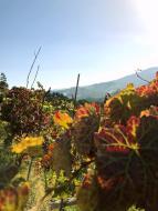 175_Douro_Valley_Weinrebe